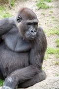 Male silverback gorilla, single mammal on grass Stock Photos