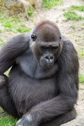 Male silverback gorilla, single mammal on grass Stock Photos
