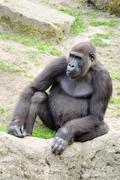 Male silverback gorilla, single mammal on grass - stock photo