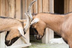 Two young goats play-fight with their heads at an animal farm - stock photo