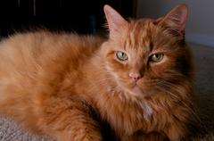 portrait of ginger cat looking at viewer - stock photo