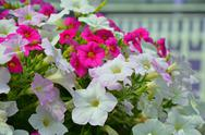 Stock Photo of pink and white petunia flowers
