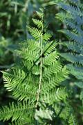 Pteridophyta in Sologne Stock Photos