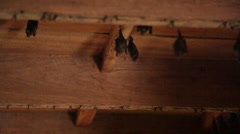 bats roost from wooden ceiling - stock footage