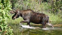 Bull Moose Walking in Pond, 4K, UHD Stock Footage