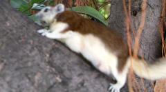 $Gray Squirrel (sciurus carolinensis) climbing on tree Stock Footage