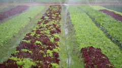 Watering lettuce plants Stock Footage