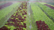 Stock Video Footage of watering lettuce plants
