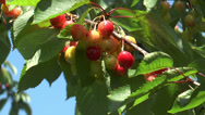 Stock Video Footage of cherries ripening on cherry tree