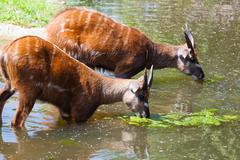 Antelope sitatunga eats water algae in the small lake Stock Photos