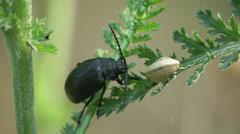 4k beetle bug insect macro Stock Footage