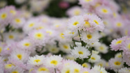 Stock Video Footage of chrysanthemums flowers with wind blow