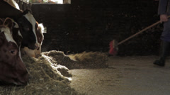 Farmer sweeping the floor of a barn with cows, Locked Down Shot Stock Footage