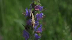 Butterfly lentää niitty hidastettuna Arkistovideo