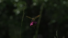 Brown butterfly on pink flower off super slow motion Stock Footage