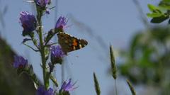Värikäs perhonen lentää niitty hidastettuna Arkistovideo