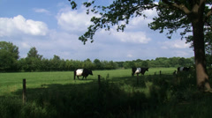 Dutch Belted cattle, Lakenvelder in green pasture - wide shot Stock Footage