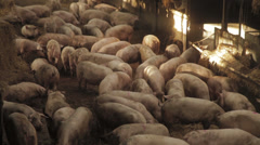 Pigs in barn, Locked Down Shot Stock Footage