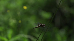 Dragonfly perched on marsh grass,flying on  super slow motion Stock Footage