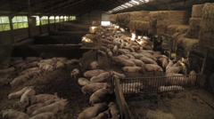 pigs in barn, Locked Down Shot wide - stock footage