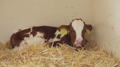 calf in crate, The Netherlands,  - stock footage