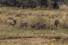 african phacochoerus - stock photo