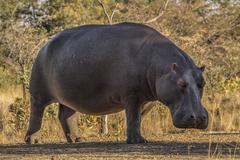 African hippo Stock Photos