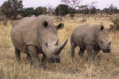 African rhino Stock Photos