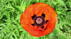 Poppy flower in a garden of Falaen Castle. Stock Footage