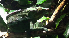 Chameleon sitting on palm tree and rolling eyes Stock Footage