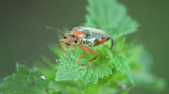 Soldier Insect  Beetle bug macro 4k Stock Footage