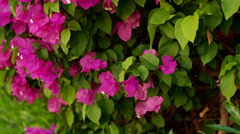 Beautiful hedge of flowering shrubs Stock Footage