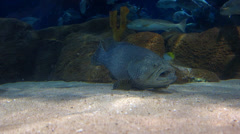An ugly fish resting on seabed Stock Footage