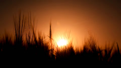 Grain in the wind breeze at sunset Stock Footage