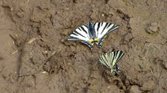 Butterfly  iphiclides podalirius Stock Footage