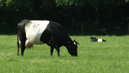 Stock Video Footage of Dutch Belted cattle, Lakenvelder cow grazes, calves ly in meadow