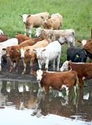 Canada Cows by the watering hole - stock photo