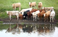 Canada Cows by the watering hole Stock Photos
