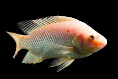 High Quality Shot Of Red Tilapia Fish Underwater Studio Aquarium Shot Isolated Stock Photos