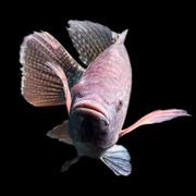 High Quality Shot Of A Large Tilapia Fish About Five Pounds Stock Photos
