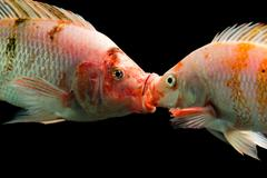 Tilapia Couple Kissing Underwater High Quality Aquarium Studio Shot Stock Photos