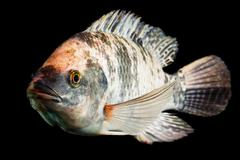 High Quality Shot Of Brown Spotted Tilapia Fish Underwater Studio Aquarium Shot Stock Photos