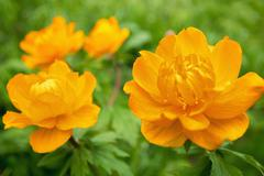 trollius asiaticus - stock photo