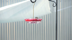 4K UHD hummingbird colibri tight shot arrives feeder drinks Stock Footage