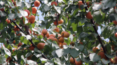 Stock Video Footage of Ripen apricots