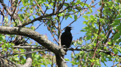 Starling in tree branches Stock Footage