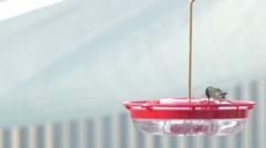 Hummingbird colibri tight shot feeder drinks Stock Footage