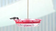 Hummingbird colibri slo mo tight shot feeder drinks Stock Footage