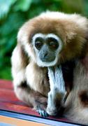 Very sad gibbon in the cage Stock Photos