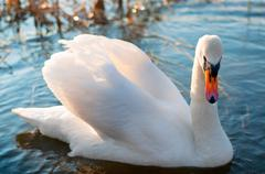 White swan with reflections on a clear blue lake Stock Photos